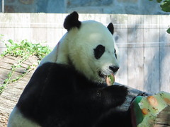2019_08-22zr (gkoo19681) Tags: beibei chubbycubby fuzzywuzzy 4thbirthday icecake apples nanner yummycarrot sugarcane sohappy spoiled presents treatball treatring donut amazing toocute beingadorable meltinghearts specialdelivery sillygoober lyingdown justbecausehecan allmine hisway brighteyed soyummy tubsitting toofunny ccncby nationalzoo