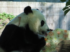 2019_08-22zq (gkoo19681) Tags: beibei chubbycubby fuzzywuzzy 4thbirthday icecake apples nanner yummycarrot sugarcane sohappy spoiled presents treatball treatring donut amazing toocute beingadorable meltinghearts specialdelivery sillygoober lyingdown justbecausehecan allmine hisway brighteyed soyummy tubsitting toofunny ccncby nationalzoo