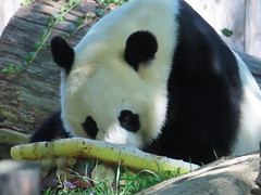 2019_08-22zi (gkoo19681) Tags: beibei chubbycubby fuzzywuzzy 4thbirthday icecake apples nanner yummycarrot sugarcane sohappy spoiled presents treatball treatring donut amazing toocute beingadorable meltinghearts specialdelivery sillygoober lyingdown justbecausehecan allmine hisway brighteyed soyummy tubsitting toofunny ccncby nationalzoo
