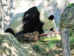 2019_08-22zb (gkoo19681) Tags: 4thbirthday beibei icecake fuzzywuzzy chubbycubby amazing presents donut nationalzoo apples sohappy spoiled specialdelivery nanner sugarcane lyingdown allmine toocute yummycarrot toofunny brighteyed soyummy meltinghearts treatball hisway sillygoober beingadorable ccncby treatring justbecausehecan tubsitting