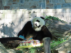 2019_08-22y (gkoo19681) Tags: beibei chubbycubby fuzzywuzzy 4thbirthday icecake apples nanner yummycarrot sugarcane sohappy spoiled presents treatball treatring donut amazing toocute beingadorable meltinghearts specialdelivery sillygoober lyingdown justbecausehecan allmine hisway brighteyed soyummy tubsitting toofunny ccncby nationalzoo