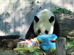 2019_08-22v (gkoo19681) Tags: beibei chubbycubby fuzzywuzzy 4thbirthday icecake apples nanner yummycarrot sugarcane sohappy spoiled presents treatball treatring donut amazing toocute beingadorable meltinghearts specialdelivery sillygoober lyingdown justbecausehecan allmine hisway brighteyed soyummy tubsitting toofunny ccncby nationalzoo