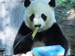 2019_08-22u (gkoo19681) Tags: beibei chubbycubby fuzzywuzzy 4thbirthday icecake apples nanner yummycarrot sugarcane sohappy spoiled presents treatball treatring donut amazing toocute beingadorable meltinghearts specialdelivery sillygoober lyingdown justbecausehecan allmine hisway brighteyed soyummy tubsitting toofunny ccncby nationalzoo