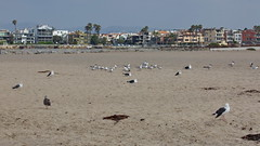 Gulls and Terns, Ballona Jetty, CA CQ4A0388 (Hart Walter) Tags: ballonajetty surfbird willet marbledgodwit leastsandpiper heermannsgull caspiantern royaltern blackturnstone westerngull