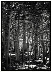 Del Monte Forest No.1 B&W (CDay DaytimeStudios w /1 Million views) Tags: ca landscape water 17miledrive pacificcoasthighway bluesky pacificgrove trees ocean highway1 montereyca pacificcoast carmelca beach coastline delmonteforest sky seascape california pebblebeach rocks montereybay