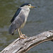 Bihoreau gris --- black-crowned night heron --- Martinete común (Jacques Sauvé) Tags: bihoreau gris blackcrowned night heron martinete común au moulin légaré steustache québec canada nikon d500 200500 500mm darktable software