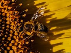 Bee on sunflower (PinoyFri) Tags: sonnenblume sunflower دوارالشمس 해바라기 tournesol zonnebloem girassol litmus ayçiçeği biene bee abelha ape 蜜蜂 pukyutan 꿀벌 honingbij ผึ้ง نحلة pollen 花粉 polline shadow schatten 24mm