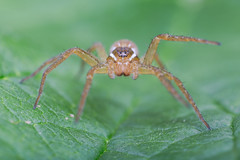 Grass Spider (ayres_leigh) Tags: spider nature macro studio animal wildlife arachnid canon 6d