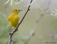 Yellow Warbler_MG_2681edtsg (cmescamilla) Tags: dendroicapetechia yellowwarbler chipeamarillo lakecasablancastatepark laredotx