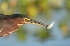 Attach Point (gseloff) Tags: greenheron bird feeding fish baitfish menhaden water hyacinth reflection nature wildlife horsepenbayou pasadena texas kayak gseloff