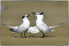 Will you be my valentine? (RKop) Tags: terns florida fortdesotostatepark courtship raphaelkopanphotography d500 600mmf4evr