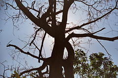 Cuiabá, Mato Grosso, Brasil (fotografia analógica - Nikon F401S, Kodak Ultra Zoom 800 vencido). (Paulisson K. Miura) Tags: kodak filmphotography film filmphoto filmcamera filme filmisnotdead filmevencido expiredfilm expired kodakultrazoom800 kodakultra800 analog analógica analogue analogcamera fotografiaanalógica 35mm 35mmfilm nature natureza cerrado árvore árvores tree trees seco seca galhos galho cuiabá matogrosso mt brasil brazil brazilian meioambiente floresta centrooeste paulissonmiura lightroom iso800 asa800 pkmra