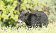Junior (Duncan Jacob) Tags: bears