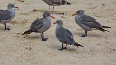 Heermann's Gulls, Ballona Jetty, CA CQ4A0389 (Hart Walter) Tags: ballonajetty surfbird willet marbledgodwit leastsandpiper heermannsgull caspiantern royaltern blackturnstone westerngull