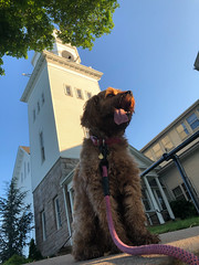 Looking up to Sicily (tquist24) Tags: cavapoo connecticut firstcongregationalchurch outdoor sicily westbrook architecture church cute dog geotagged iphone iphonex leash outside sidewalk sky tree cellphone