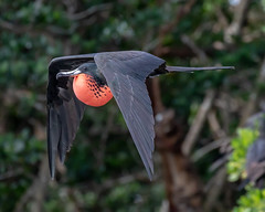 Magnificent Frigatebird Inflight & Inflated (dbadair) Tags: outdoor nature wildlife 7dm2 7d ii ef100400mm canon florida bird bif flight frigate