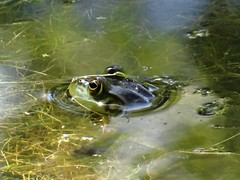 Friday's frog (EcoSnake) Tags: americanbullfrog lithobatescatesbeiana frogs amphibians water wildlife idahofishandgame naturecenter