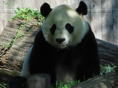 2019_08-22zo (gkoo19681) Tags: beibei chubbycubby fuzzywuzzy 4thbirthday icecake apples nanner yummycarrot sugarcane sohappy spoiled presents treatball treatring donut amazing toocute beingadorable meltinghearts specialdelivery sillygoober lyingdown justbecausehecan allmine hisway brighteyed soyummy tubsitting toofunny ccncby nationalzoo