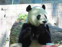 2019_08-22zl (gkoo19681) Tags: beibei chubbycubby fuzzywuzzy 4thbirthday icecake apples nanner yummycarrot sugarcane sohappy spoiled presents treatball treatring donut amazing toocute beingadorable meltinghearts specialdelivery sillygoober lyingdown justbecausehecan allmine hisway brighteyed soyummy tubsitting toofunny ccncby nationalzoo