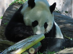 2019_08-22zh (gkoo19681) Tags: beibei chubbycubby fuzzywuzzy 4thbirthday icecake apples nanner yummycarrot sugarcane sohappy spoiled presents treatball treatring donut amazing toocute beingadorable meltinghearts specialdelivery sillygoober lyingdown justbecausehecan allmine hisway brighteyed soyummy tubsitting toofunny ccncby nationalzoo