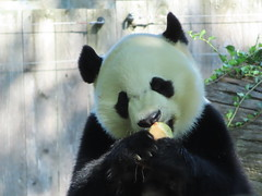 2019_08-22x (gkoo19681) Tags: apples 4thbirthday beibei icecake fuzzywuzzy chubbycubby amazing presents donut nationalzoo sohappy spoiled specialdelivery nanner sugarcane lyingdown allmine toocute yummycarrot toofunny brighteyed soyummy meltinghearts treatball hisway sillygoober beingadorable ccncby treatring justbecausehecan tubsitting