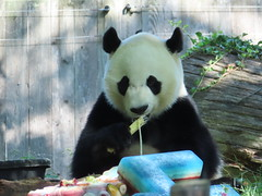 2019_08-22s (gkoo19681) Tags: beibei chubbycubby fuzzywuzzy 4thbirthday icecake apples nanner yummycarrot sugarcane sohappy spoiled presents treatball treatring donut amazing toocute beingadorable meltinghearts specialdelivery sillygoober lyingdown justbecausehecan allmine hisway brighteyed soyummy tubsitting toofunny ccncby nationalzoo