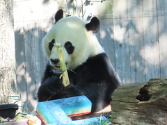 2019_08-22p (gkoo19681) Tags: beibei chubbycubby fuzzywuzzy 4thbirthday icecake apples nanner yummycarrot sugarcane sohappy spoiled presents treatball treatring donut amazing toocute beingadorable meltinghearts specialdelivery sillygoober lyingdown justbecausehecan allmine hisway brighteyed soyummy tubsitting toofunny ccncby nationalzoo