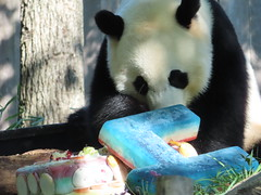 2019_08-22n (gkoo19681) Tags: beibei chubbycubby fuzzywuzzy 4thbirthday icecake apples nanner yummycarrot sugarcane sohappy spoiled presents treatball treatring donut amazing toocute beingadorable meltinghearts specialdelivery sillygoober lyingdown justbecausehecan allmine hisway brighteyed soyummy tubsitting toofunny ccncby nationalzoo