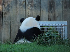 2019_08-22d (gkoo19681) Tags: beibei chubbycubby fuzzywuzzy 4thbirthday icecake apples nanner yummycarrot sugarcane sohappy spoiled presents treatball treatring donut amazing toocute beingadorable meltinghearts specialdelivery sillygoober lyingdown justbecausehecan allmine hisway brighteyed soyummy tubsitting toofunny ccncby nationalzoo