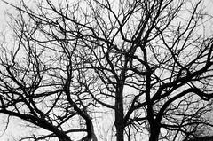 Winter tree branches (Matthew Paul Argall) Tags: canonsnappy20 fixedfocus 35mmfilm 100isofilm blackandwhite blackandwhitefilm kentmerepan100 treebranches winter