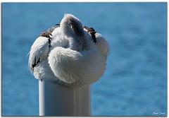 Pelican (Bear Dale) Tags: south coast mooring post warming hats ulladulla southcoast new wales shoalhaven australia beardale lakeconjola fotoworx milton nsw nikond850 photography framed nature nikon bear d850 nikkor afs 200500mm f56e ed vr pelican bird blue water ocean saltwater