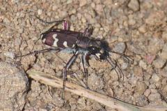 Nõmmeliivikas; Cicindela (Cicindela) hybrida (urmas ojango) Tags: mardikalised coleoptera insects insecta beetles putukad nõmmeliivikas cicindelahybrida