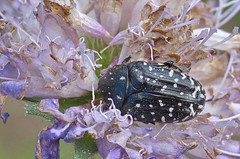 Täpikpõrnikas; Oxythyrea funesta (urmas ojango) Tags: mardikalised coleoptera insects insecta beetles putukad täpikpõrnikas oxythyreafunesta