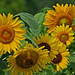 Sunflowers (flyfishermike) Tags: