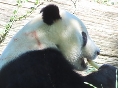 2019_08-22zzd (gkoo19681) Tags: beibei chubbycubby fuzzywuzzy 4thbirthday icecake apples nanner yummycarrot sugarcane sohappy spoiled presents treatball treatring donut amazing toocute beingadorable meltinghearts specialdelivery sillygoober lyingdown justbecausehecan allmine hisway brighteyed soyummy tubsitting toofunny ccncby nationalzoo