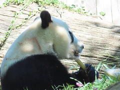 2019_08-22zzc (gkoo19681) Tags: beibei chubbycubby fuzzywuzzy 4thbirthday icecake apples nanner yummycarrot sugarcane sohappy spoiled presents treatball treatring donut amazing toocute beingadorable meltinghearts specialdelivery sillygoober lyingdown justbecausehecan allmine hisway brighteyed soyummy tubsitting toofunny ccncby nationalzoo