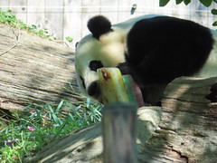2019_08-22zz (gkoo19681) Tags: beibei chubbycubby fuzzywuzzy 4thbirthday icecake apples nanner yummycarrot sugarcane sohappy spoiled presents treatball treatring donut amazing toocute beingadorable meltinghearts specialdelivery sillygoober lyingdown justbecausehecan allmine hisway brighteyed soyummy tubsitting toofunny ccncby nationalzoo
