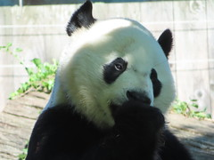 2019_08-22zu (gkoo19681) Tags: beibei chubbycubby fuzzywuzzy 4thbirthday icecake apples nanner yummycarrot sugarcane sohappy spoiled presents treatball treatring donut amazing toocute beingadorable meltinghearts specialdelivery sillygoober lyingdown justbecausehecan allmine hisway brighteyed soyummy tubsitting toofunny ccncby nationalzoo