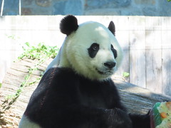 2019_08-22zs (gkoo19681) Tags: beibei chubbycubby fuzzywuzzy 4thbirthday icecake apples nanner yummycarrot sugarcane sohappy spoiled presents treatball treatring donut amazing toocute beingadorable meltinghearts specialdelivery sillygoober lyingdown justbecausehecan allmine hisway brighteyed soyummy tubsitting toofunny ccncby nationalzoo