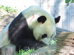 2019_08-22zp (gkoo19681) Tags: beibei chubbycubby fuzzywuzzy 4thbirthday icecake apples nanner yummycarrot sugarcane sohappy spoiled presents treatball treatring donut amazing toocute beingadorable meltinghearts specialdelivery sillygoober lyingdown justbecausehecan allmine hisway brighteyed soyummy tubsitting toofunny ccncby nationalzoo