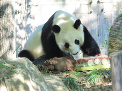 2019_08-22za (gkoo19681) Tags: beibei chubbycubby fuzzywuzzy 4thbirthday icecake apples nanner yummycarrot sugarcane sohappy spoiled presents treatball treatring donut amazing toocute beingadorable meltinghearts specialdelivery sillygoober lyingdown justbecausehecan allmine hisway brighteyed soyummy tubsitting toofunny ccncby nationalzoo