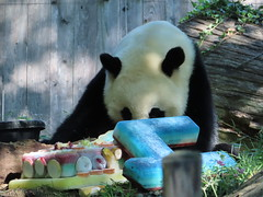2019_08-22r (gkoo19681) Tags: beibei chubbycubby fuzzywuzzy 4thbirthday icecake apples nanner yummycarrot sugarcane sohappy spoiled presents treatball treatring donut amazing toocute beingadorable meltinghearts specialdelivery sillygoober lyingdown justbecausehecan allmine hisway brighteyed soyummy tubsitting toofunny ccncby nationalzoo
