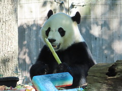 2019_08-22q (gkoo19681) Tags: beibei chubbycubby fuzzywuzzy 4thbirthday icecake apples nanner yummycarrot sugarcane sohappy spoiled presents treatball treatring donut amazing toocute beingadorable meltinghearts specialdelivery sillygoober lyingdown justbecausehecan allmine hisway brighteyed soyummy tubsitting toofunny ccncby nationalzoo