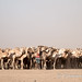 At the Kalacha waterhole: one man, many camels