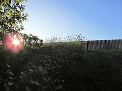 Beauty is where you find it (creed_400) Tags: belmont west michigan summer august wildflowers fence sun grass