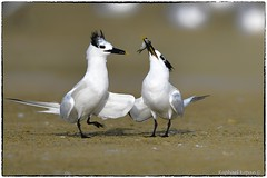 Will you be my valentine?(EXPLORE, Aug 24 2019, #74) (RKop) Tags: terns florida fortdesotostatepark courtship raphaelkopanphotography d500 600mmf4evr