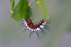 DSC_3567_190823_183823_01 (redfish1957) Tags: butterfly caterpillar longwingzebra nature naturephotography macro garden inmygarden