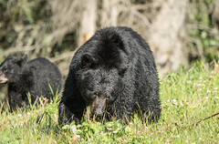 Moma Bear (Duncan Jacob) Tags: bears