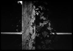 vines on concrete railing iv - Rodinal stand 1hr (the other Matt Jones) Tags: rodinal stand 2468 kodak film canon10qd 35mmf14 blackandwhite