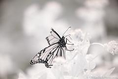monarch - 720nm IR (Brian M Hale) Tags: ir infrared 720nm kolari vision kolarivision newengland ma mass massachusetts boylston tower hill botanic botanical garden monarch butterfly